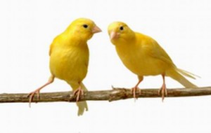 Canary Vet - veterinarian for Canaries