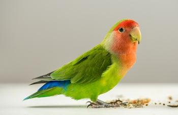 Feeding pet birds Avian Vets Bird Vet Melbourne