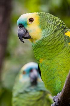 Caring for your pet Amazon parrot