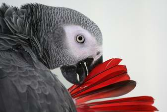 Caring for your African Grey Parrot