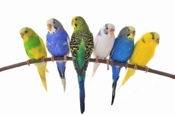 Caring for your pet budgerigar