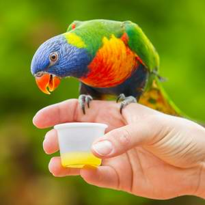 Caring For Rainbow Lorikeets