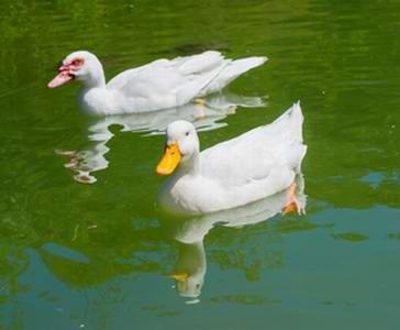 Caring for Pet Ducks Duck vet Bird Vet Melbourne