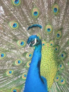 Caring for Peacocks Peafowl