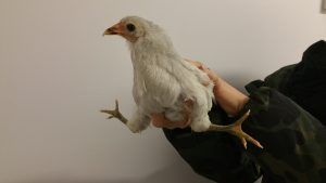 Chicken vet - chick with deform